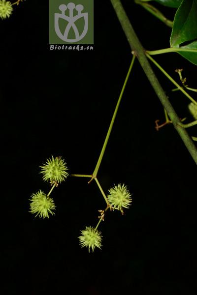 Euonymus cinereus