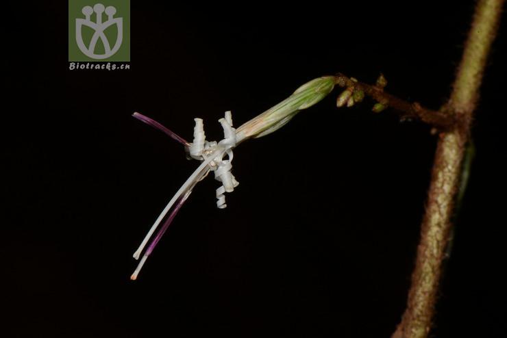 Ainsliaea elegans
