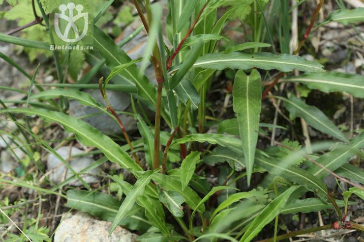 Polygonum sinomontanum