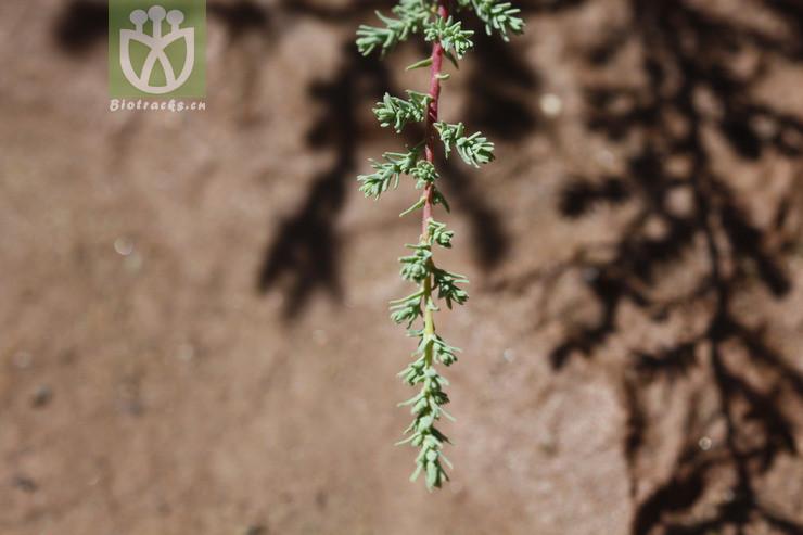 Myricaria rosea