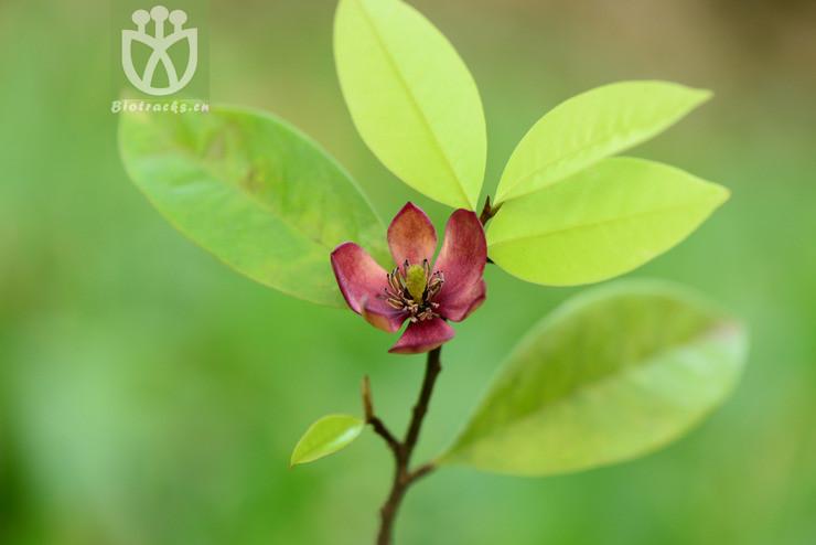 Michelia crassipes