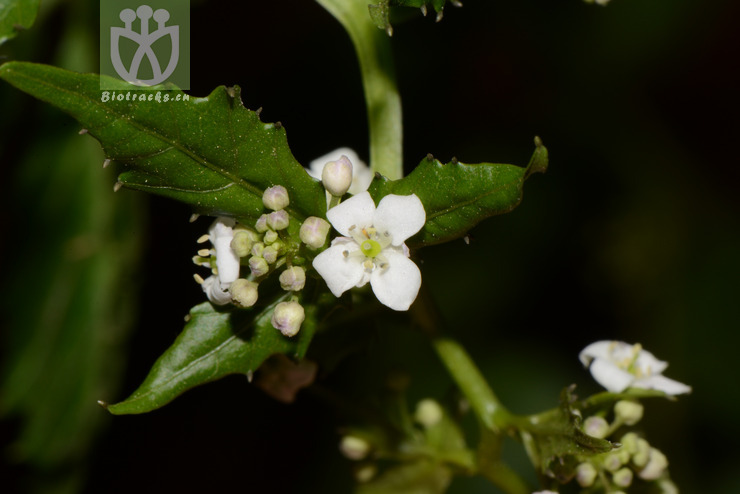 Hilliella shuangpaiensis