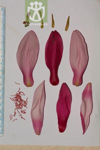 Yulania liliiflora