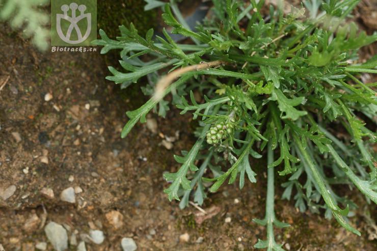 Artemisia eriopoda