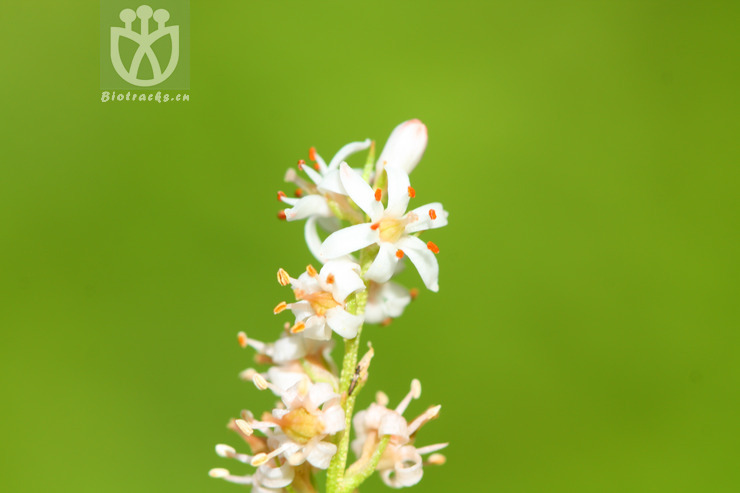 Aletris stelliflora