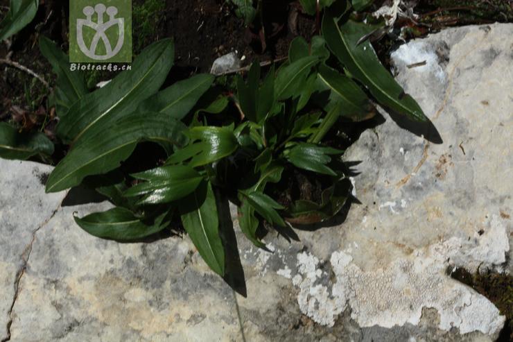 Halerpestes tricuspis