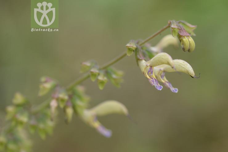 Salvia bowleyana var. bowleyana