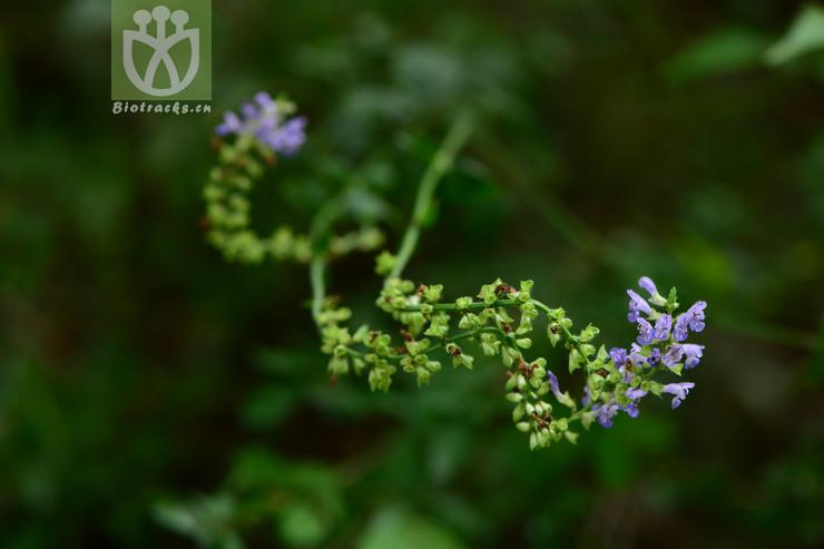 Salvia japonica var. japonica