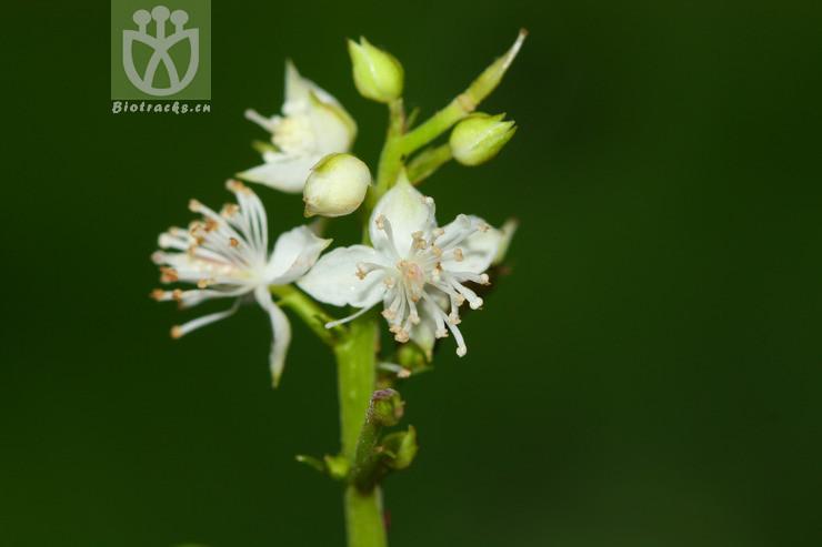 Beesia deltophylla