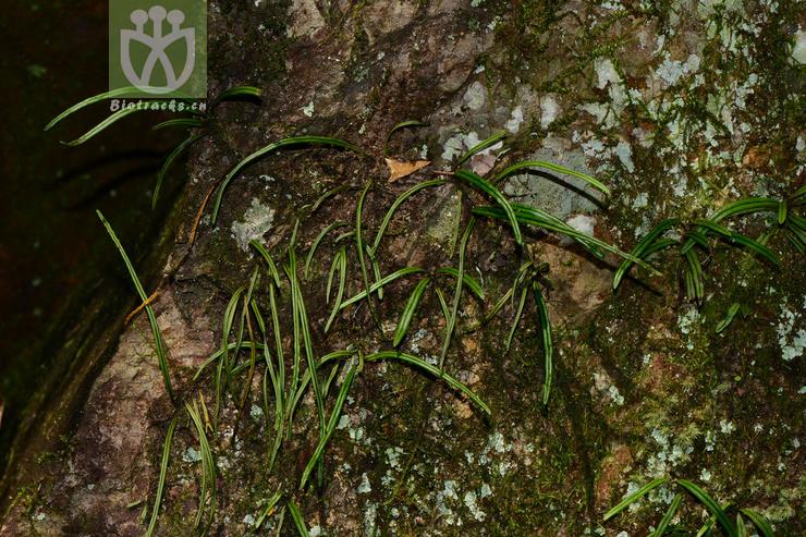Lepisorus lewisii