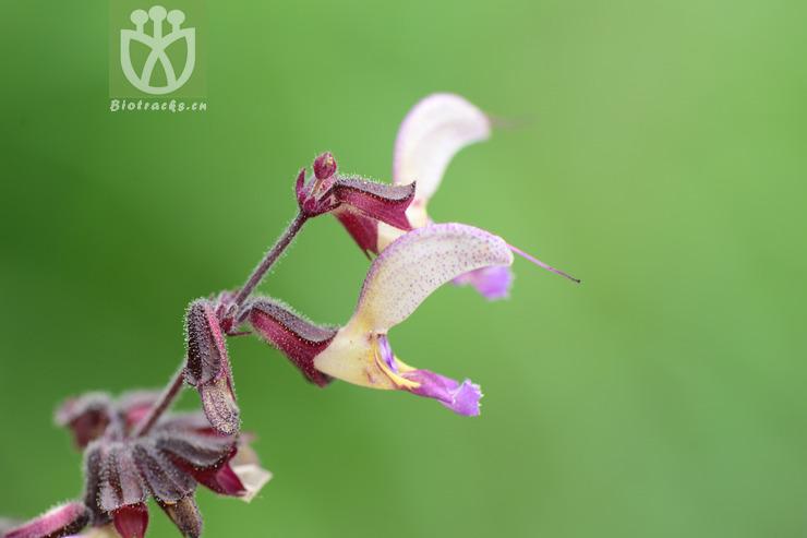 Salvia miltiorrhiza var. australis