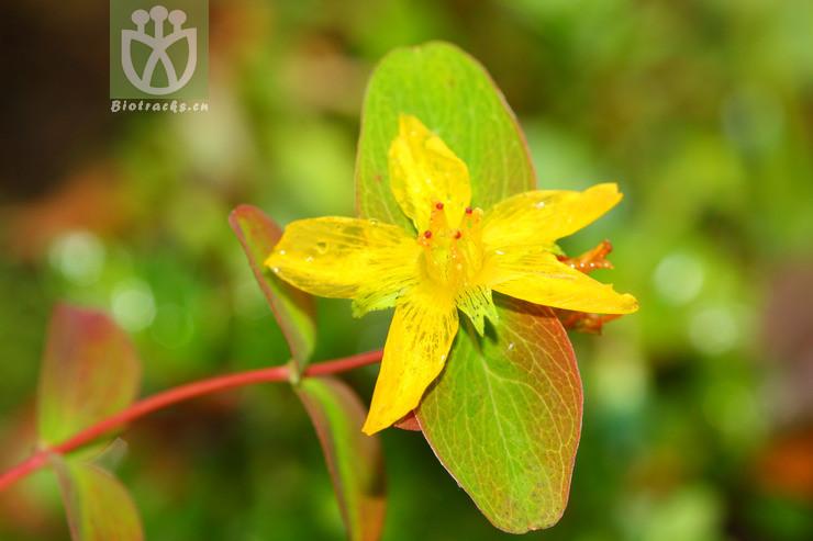 Hypericum himalaicum