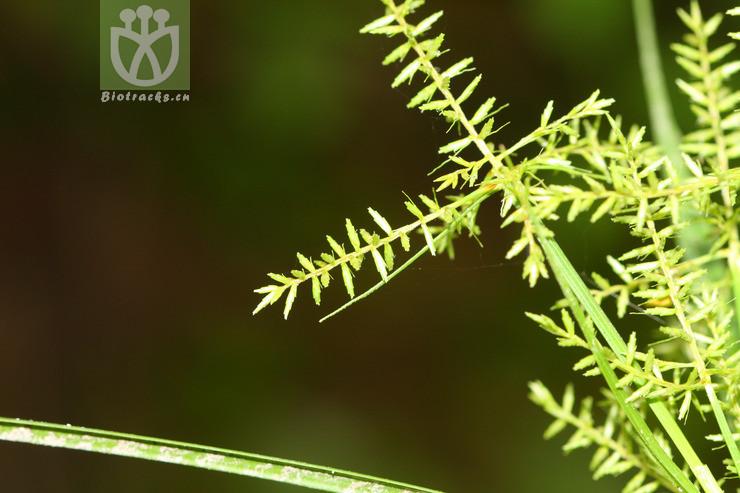 Cyperus pilosus