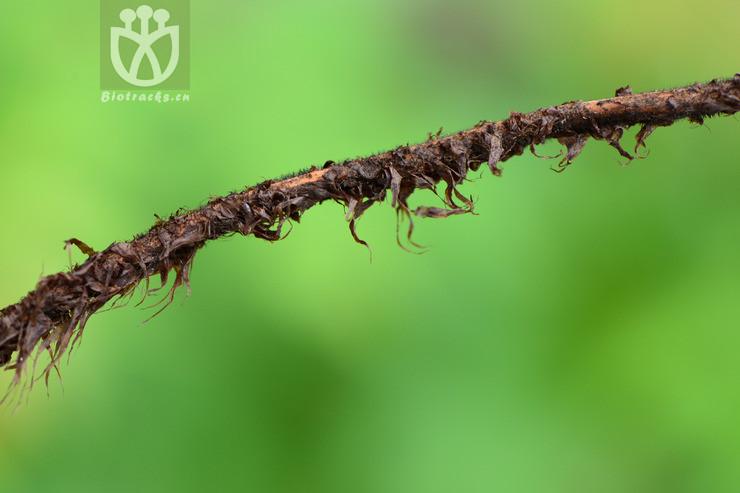Dryopteris fuscipes