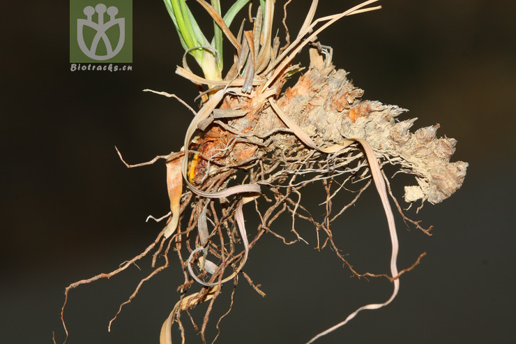 Cyperus niveus