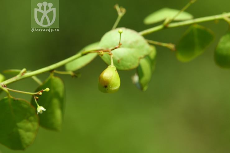 Gymnosporia royleana