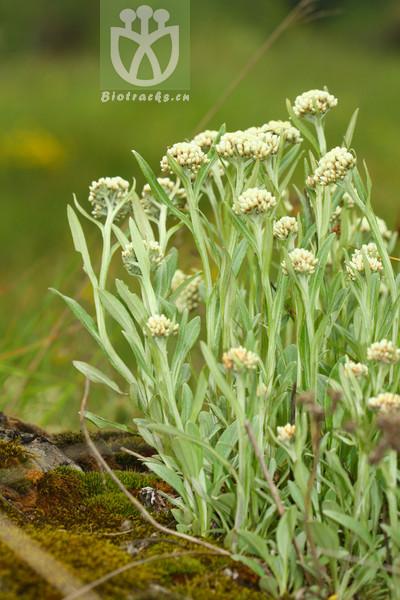 Anaphalis flaccida