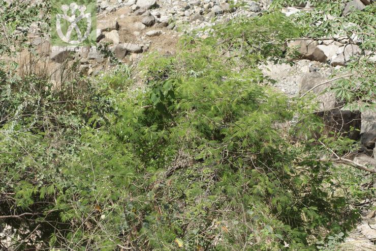 Acacia megaladena