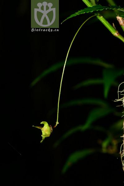 Euonymus clivicolus