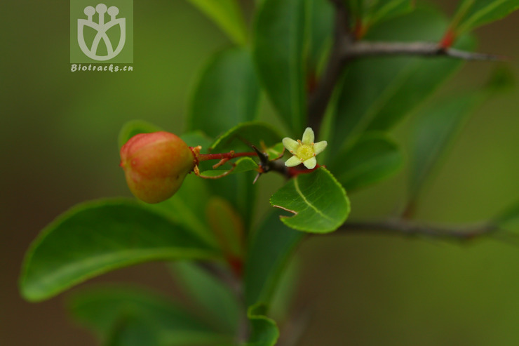 Maytenus berberoides