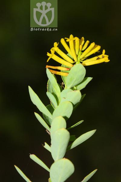 Wikstroemia scytophylla