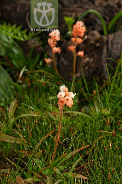 Aletris pauciflora var. pauciflora