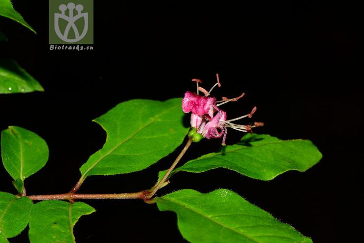 Lonicera lanceolata