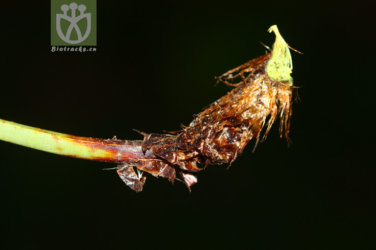 Dryopteris fructuosa