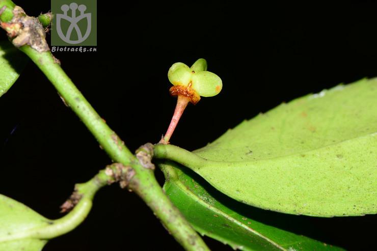 Euonymus leclerei