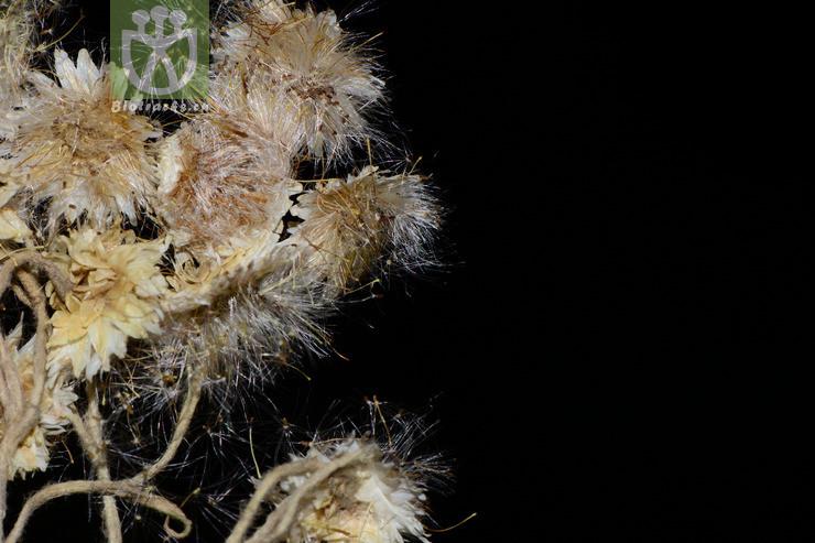 Anaphalis morrisonicola