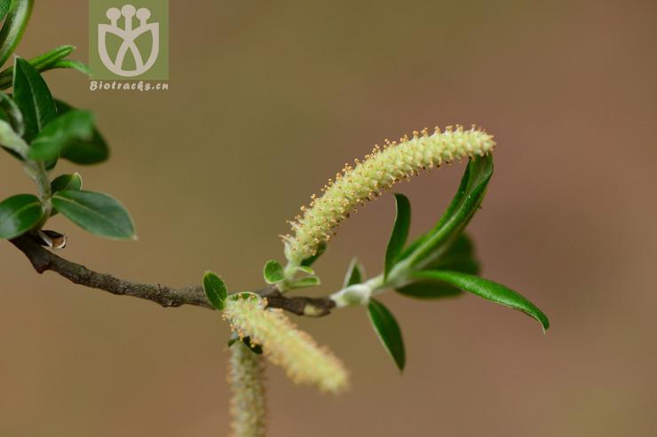 Salix psilostigma