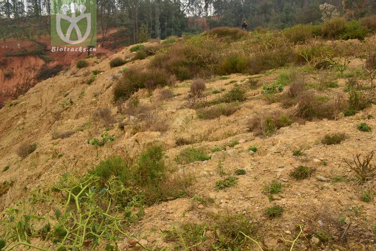Polygonum lapathifolium var. salicifolium