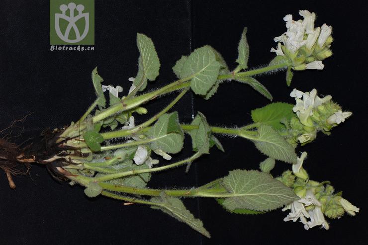 Salvia mekongensis