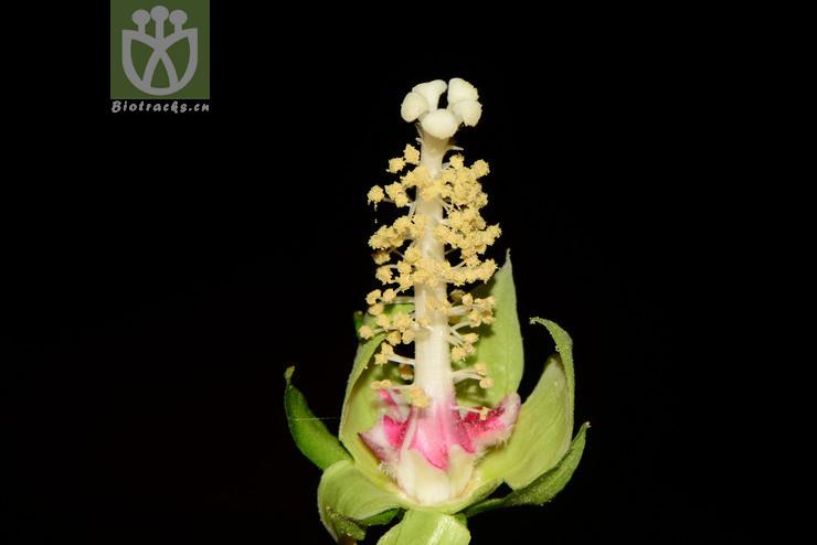 Hibiscus labordei