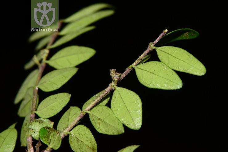 Lonicera ligustrina subsp. yunnanensis