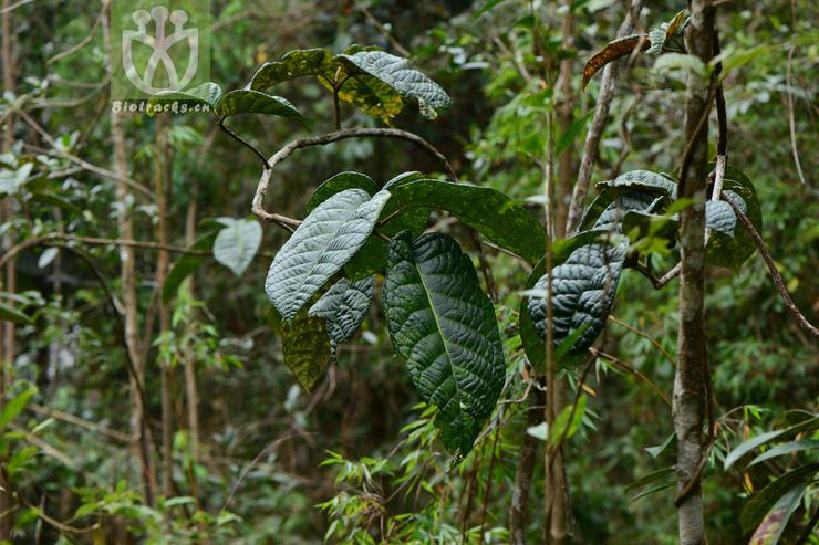 Sloanea mollis