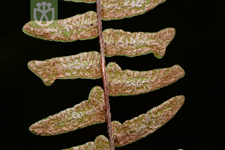 Paragymnopteris delavayi