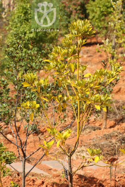 Lithocarpus henryi