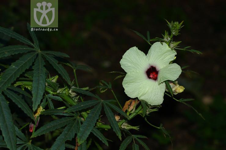 Hibiscus radiatus