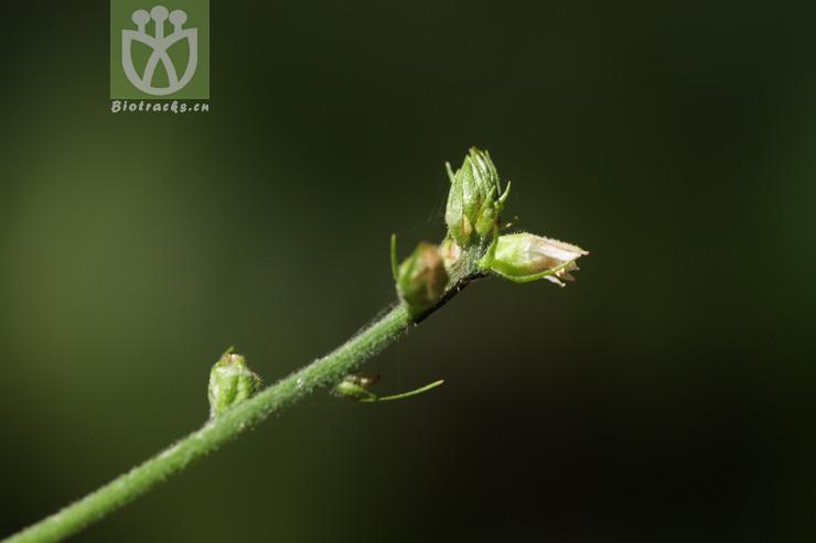 Aletris glandulifera