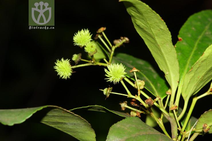 Euonymus subsessilis