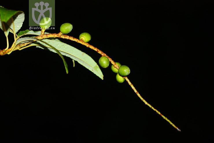Padus napaulensis