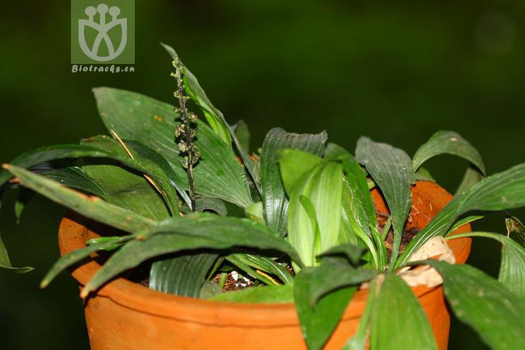 Peliosanthes teta