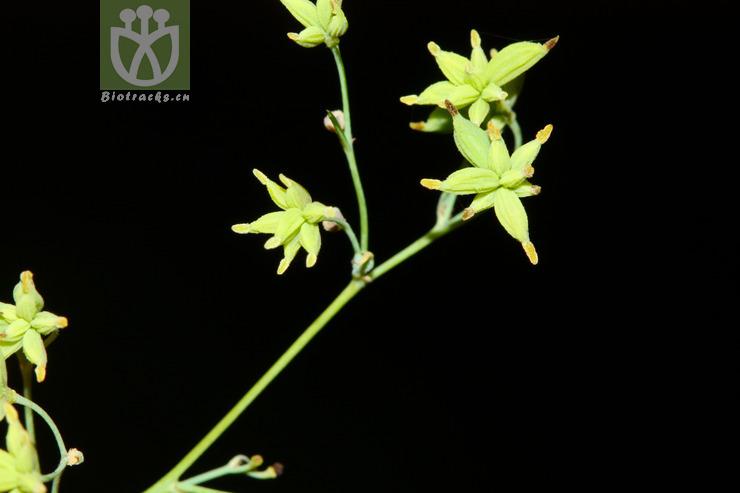 Thalictrum cirrhosum