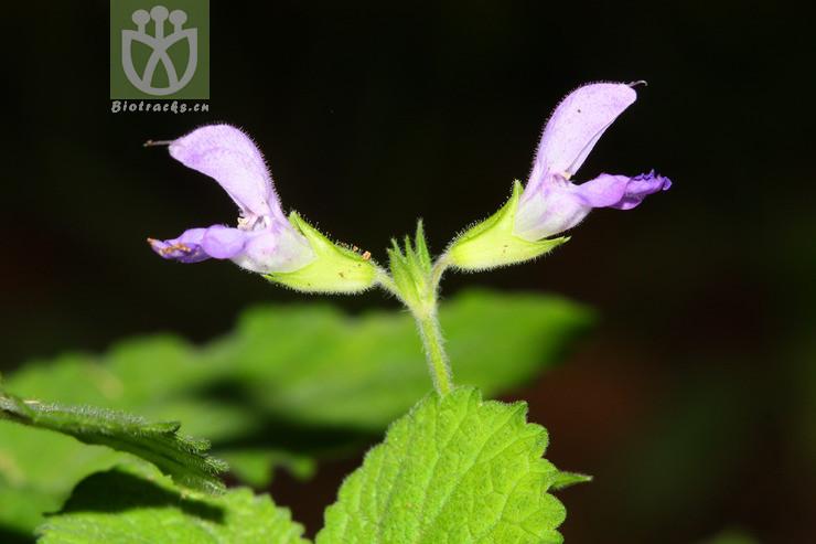 Salvia miltiorrhiza var. charbonnelii
