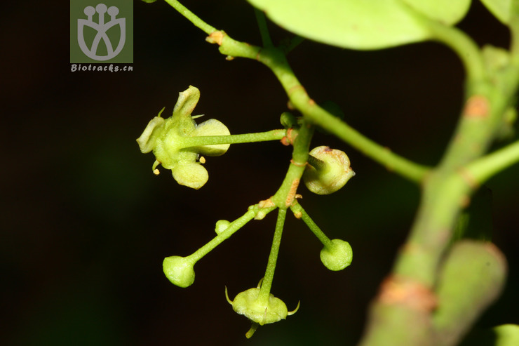 Euonymus trichocarpus