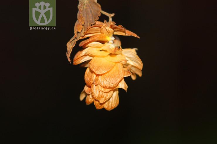 Humulus yunnanensis