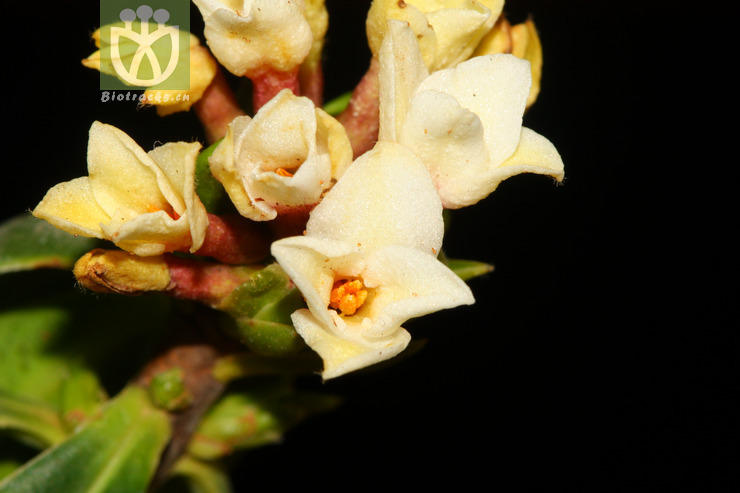 Daphne papyracea var. parvifolia