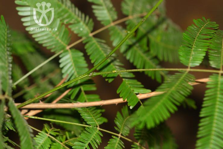 Acacia delavayi
