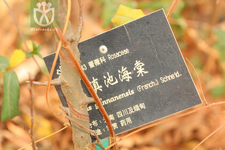 Malus yunnanensis var. yunnanensis